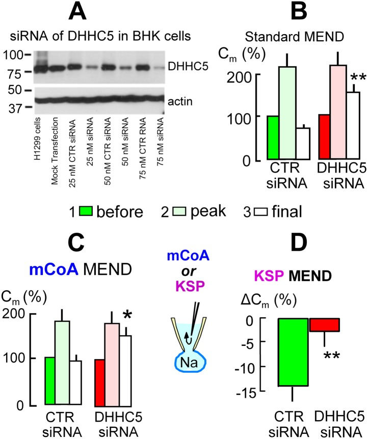 The acyl tranferase, DHHC5, is required for MEND in BHK cells. ( A ) DHHC5 knockdown by siRNA to ZDHHC5. BHK cells were transfected with control siRNA or ZDHHC5-specific siRNA at indicated concentrations using Lipofectamine 2000. 72 hrs after transfection, cells were harvested and cell lysates were processed for Western blot analysis using 20 µg protein per lane. A human non-small lung carcinoma cell line, H1299, was used as a positive control for anti-ZDHHC5 antibody. ( B ) MEND in BHK cells amounts to 75% of the cell surface after growing cells with staurosporin (0.1 μM), and DHHC5 siRNA decreases MEND by 63% (p