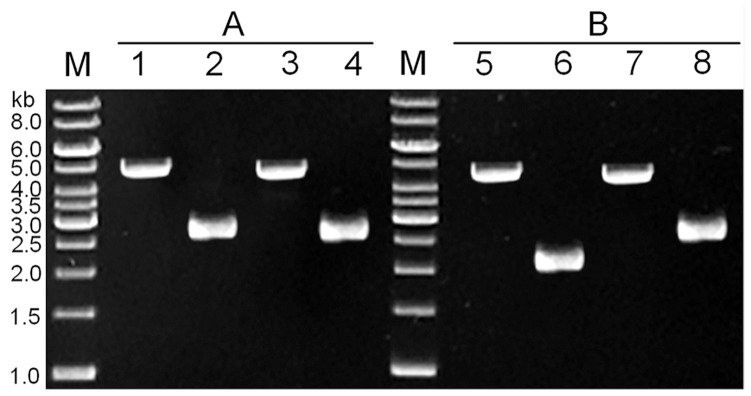 Confirmation of ccpN point mutation and ccpN in-frame deletion by <t>PCR.</t> The PCR product was analyzed by agarose gel electrophoresis. A 1(Fermentas) was used as a molecular weight marker (lane M). A. Confirmation of the ccpN point mutation. Fragments were amplified using ccpN-Mut-P7/ccpN-Mut-P8 as primers. Each lane showed amplified <t>DNA</t> generated from a DNA template: lane 1, BUK-1C (Δ ccpN :: upp -cassette); lane 2, BUK-1 ( ccpN -mut-Ala 130 to Ser); lane 3, dsDNA PCR fragment (positive control); lane 4, BUK ( ccpN -wild type) (negative control). B. Confirmation of the ccpN in-frame deletion. Fragments were amplified using ccpN-Del-P1/ccpN-Del-P6 as primers. Each lane showed amplified DNA generated from a DNA template: lane 5, BUK-2C (Δ ccpN :: upp -cassette); lane 6, BUK-2 (Δ ccpN ); lane 7, dsDNA PCR fragment (positive control); lane 8, BUK ( ccpN -wild type) (negative control).