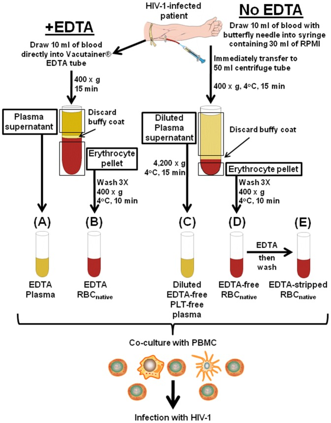 Fractionation of blood from HIV-1-infected patients for obtaining plasma and RBC native in the presence or absence of EDTA. Whole blood collected from a patient in the presence (A,B) or absence (C,D) of EDTA, and separated into four plasma and erythrocyte fractions, A, B, C, and D, as shown. Fraction D was treated with 5 mM EDTA, resulting in Fraction E. All of the samples were used immediately for co-culture with PBMC to detect capability for causing HIV-1 infection of the PBMC. Aliquots were stored at −20°C for viral RNA measurements. See Materials and Methods for further details.