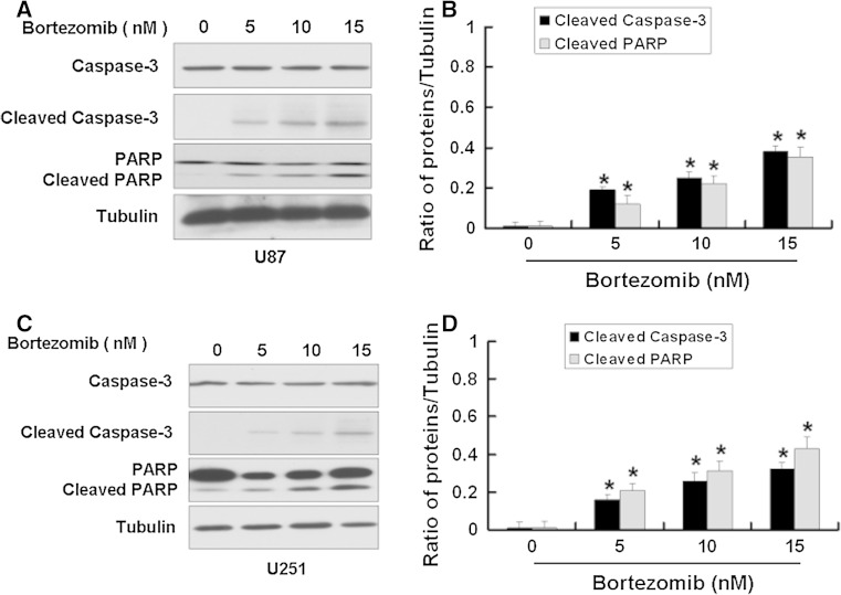 Bortezomib increased the apoptotic-related proteins in U87 and U251 cells. a Western blot analysis for the expressions of Caspase-3, Cleaved caspase-3, and PARP in U87 cells treated by 0, 5, 10, and 15 nM bortezomib for 24 h. b Quantitation of Cleaved caspase-3 and Cleaved PARP proteins levels in U87 cells. c Western blot analysis for the expressions of Caspase-3, Cleaved caspase-3, and PARP in U251 cells treated by 0, 5, 10, and 15 nM bortezomib for 24 h. d Quantitation of Cleaved caspase-3 and Cleaved PARP proteins levels in U251 cells. Data are presented as mean ± SD, n = 3, * P