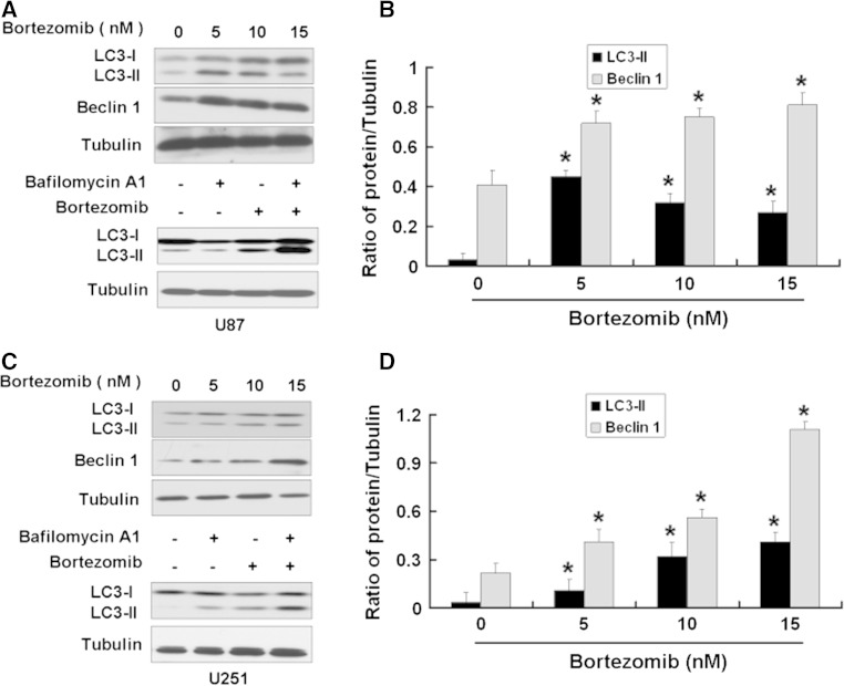Bortezomib induces autophagy in human glioblastoma U87 and U251 cells. a Western blot analysis for the expressions of LC3 and Beclin 1 in U87 cells treated by 0, 5, 10, and 15 nM bortezomib for 24 h and the expression of LC3 in U87 cells treated by bortezomib (10 nM) alone or together with Bafilomycin A1 (1 μM) for 24 h. b Quantitation of LC3-II and Beclin 1 proteins levels in U87 cells treated by 0, 5, 10, and 15 nM bortezomib for 24 h. c Western blot analysis for the expression of LC3 and Beclin 1 in U251 cells treated by 0, 5, 10, and 15 nM bortezomib for 24 h and the expression of LC3 in U251 cells treated by bortezomib (10 nM) alone or together with Bafilomycin A1 (1 μM) for 24 h. d Quantitation of LC3-II and Beclin 1 proteins levels in U251 cells treated by 0, 5, 10, and 15 nM bortezomib for 24 h