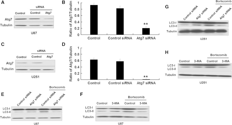 siRNA Atg7 and 3-MA inhibit autophagy induced by bortezomib in U87 and U251 cells. a Western blot analysis for the expression of Atg7 in U87 cells treated by control siRNA or Atg7 siRNA. b Quantitation of Atg7 levels in U87 cells treated by control siRNA or Atg7 siRNA. c Western blot analysis for the expression of Atg7 in U251 cells treated by control siRNA or Atg7 siRNA. d Quantitation of Atg7 levels in U251 cells treated by control siRNA or Atg7 siRNA. e Western blot analysis for the expression of LC3 in U87 cells treated by control siRNA or Atg7 siRNA with or without bortezomib (10 nM, 24 h). f Western blot analysis for the expression of LC3 in U87 cells treated by control (DMSO) or 3-MA (5 mM) with or without bortezomib (10 nM) for 24 h. g Western blot analysis for the expression of LC3 in U251 cells treated by control siRNA or Atg7 siRNA with or without bortezomib (10 nM, 24 h). h Western blot analysis for the expression of LC3 in U251 cells treated by control (DMSO) or 3-MA (5 mM) with or without bortezomib (10 nM) for 24 h. Data are presented as mean ± SD, n = 3, ** P