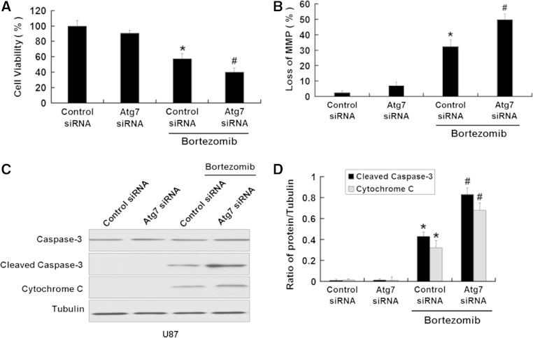 Inhibition of autophagy by Atg7 siRNA enhances apoptosis induced by bortezomib in U87 cells. a U87 cells were treated with control siRNA or Atg7 siRNA with or without bortezomib (10 nM, 24 h). Cells viability was determined by MTT assay. Data are presented as mean ± SD, n = 6. b U87 cells treated with control siRNA or Atg7 siRNA with or without bortezomib (10 nM, 24 h). The cells were harvested after treatment and were stained with JC-1. c Western blot analysis for the expressions of Caspase-3, Cleaved caspase-3, and Cytochrome C in U87 cells treated with control siRNA or Atg7 siRNA with or without bortezomib (10 nM, 24 h). d Quantitation of Cleaved caspase-3 and Cytochrome C levels in U87 cells treated with control siRNA or Atg7 siRNA with or without bortezomib. Data are presented as mean ± SD, n = 3, * P