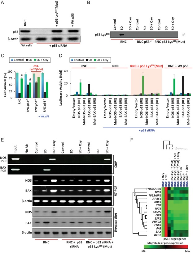 Oxygenation inhibits acetylation of p53-Lys 118 residue and increases survival of rat neonatal cardiomyocyte (RNC) cells Western-blot results show the abolition of p53 expression in RNC cells (lane 2), while addition of p53 Lys118-Ala118 cDNA and p53 Wt cDNA to RNC p53 −/− cells show the expression of p53 (lanes 3 and 4). Control cells show expression of p53 (lane 1). Immunoprecipitation results show acetylation of p53 at Lys118 residue in RNC cells under SD conditions (lane 2). However, this expression is abolished upon oxygenation (lane 3). Acetylation at p53 Lys118 is absent in control, RNC p53 −/− and RNC p53-Lys 118 (Mut) cells under both SD and SD + Oxy conditions (lanes 4–9). Cell survival analysis of control, SD and SD + Oxy-treated RNC, RNC + p53 siRNA, RNC + p53 siRNA + p53-Lys 118 (Mut) cDNA and RNC + p53 siRNA + Wt p53 cDNA cells show an increase in the SD-treated RNC + p53 siRNA and RNC + p53 siRNA + p53-Lys 118 (Mut) cDNA cells compared to RNC cells, exhibiting the crucial role of deacetylation of p53 Lys 118 in cell survival. Data represent mean ± SD of eight independent measurements. * p = 2.6E−14 versus respective SD group; # p = 9.3E−08 versus respective SD group. Luciferase assay shows activation of BAX-p53-RE and NOS3-p53-RE in SD and SD + Oxy-treated RNC cells. Neither BAX nor NOS3 is activated in RNC + p53 siRNA cells. Oxygenation caused a switch of BAX activation to NOS3 activation in RNC p53-Lys 118 (Mut) cells. Data represent mean ± SD of eight independent measurements. ChIP assay shows the binding of p53 to its respective NOS3 and BAX RE in RNC cells (lanes 4 and 5). However, no binding of p53 to BAX-RE or NOS3-RE is observed in RNC p53 −/− cells (lanes 7 and 8). However, p53 binds to NOS3-RE in SD + Oxy-treated RNC p53-Lys 118 (Mut) cells (lane 11). These results suggest the importance of p53 Lys118 acetylation in activation of either BAX-RE or NOS3-RE and regulation of apoptotic or survival pathway respectively. Similar results were observed at mRNA and protein level using RT-PCR and Western-blot techniques in RNC, RNC p53 −/− and RNC p53-Lys 118 (Mut) cells. Expression of p53 downstream genes in RNC, RNC p53 −/− and RNC p53-Lys 118 (Mut) cells. SD-treated RNC cells show activation of apoptotic genes whereas RNC p53 −/− and RNC p53-Lys 118 (Mut) cells show no involvement in apoptotic gene activation.