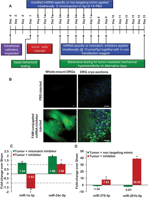 Manipulation of miRNA expression in lumbar DRGs in mice in vivo via intrathecal application of miRNA mimics and inhibitors Experimental scheme established in this study which enables effective knockdown/induction of miRNA expression in DRGs in vivo and analysis of tumour pain-associated behaviours. Microscopic analyses of whole-mount DRGs or cryosections showing uptake of FAM-conjugated miRNA inhibitors. Scale bar is 50 µm in all panels. Typical examples of qRT-PCR verification of efficacy of miRNA inhibitors in reversing tumour-induced upregulation of miRNAs in ipsilateral DRGs in vivo . Typical examples of qRT-PCR verification of efficacy of miRNA mimics in reversing tumour-induced downregulation of miRNAs and inducing overexpression of miRNAs in ipsilateral DRGs in vivo . In panel (C), * denotes p = 0.02 for miR-1a-3p, 0.04 for miR-34c-3p as compared to corresponding mismatch inhibitor and in panel (D), * denotes p = 0.001 for miR-370-3p and