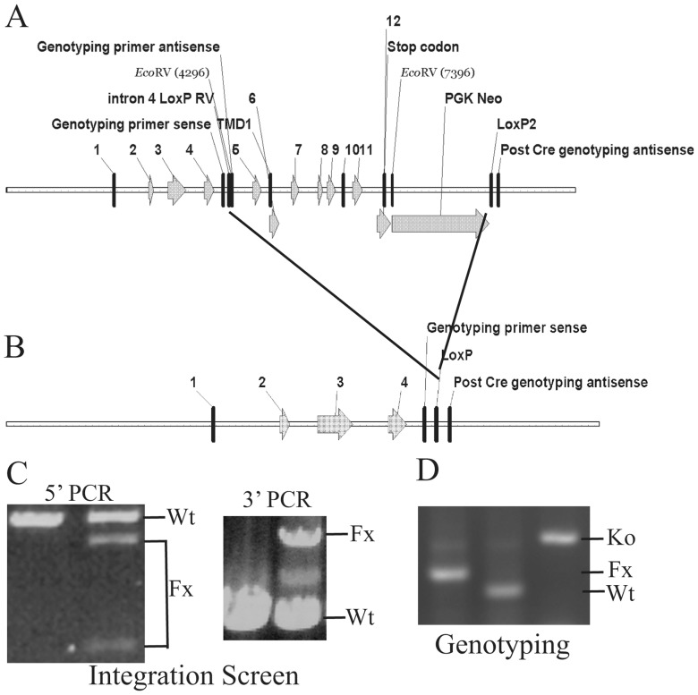 Structures of the pre- and post-Cre floxed mouse Zip5 gene and integration and genotyping screen designs. ( A ) The mouse Zip5 gene was captured using gap-repair and manipulated using galK recombineering. Exons ( 1–12 ) and the exon encoding transmembrane domain 1 ( TMD1 ) are indicated, as are the positions of LoxP sites (intron 4 and downstream of PGK Neo ), the PGK-neomycin ( PGK Neo ) cassette and the locations of primers used for genotyping. The LoxP site in intron 4 is flanked by an EcoRV restriction enzyme cleavage site. ( B ) The structure of the Zip5 gene after Cre recombination is shown. Recombination eliminates the transmembrane domain of ZIP5. ( C ) The floxed Zip5 gene was targeted into E14 ES cells and properly targeted ES cells were identified by long range PCR using flanking and internal primers. PCR products from the wild-type ( Wt ) and floxed ( Fx ) alleles are indicated. EcoRV cleavage was used to differentiate between the floxed and wild-type alleles in the 5′ PCR screen whereas the 3′ PCR screen yielded the predicted larger product from the wild-type allele. Targeted ES cells were used to generate mice homozygous for the floxed Zip5 allele. ( D ) Mice were genotyped by PCR amplification of the intron 4 region containing the LoxP site. The PCR product from homozygous Zip5 floxed mice before Cre-induced recombination is shown in the left lane while that from control mice is shown in the center lane and that from Zip5 -knockout mice ( Ko ) is shown in the right lane . For the intestine- and pancreas-specific knockout mice, detection of Zip5 mRNA and/or protein was employed to monitor the efficacy of recombination.