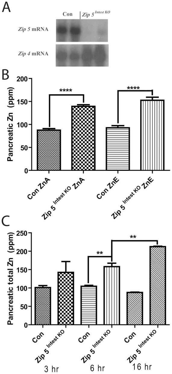 Loss of function of the intestine Zip5 gene results in the accumulation of zinc in the pancreas. Newly weaned mice were injected with tamoxifen to induce Zip5 recombination in the intestine by activation of Cre-ERT2 expressed from a vil-Cre-ERT2 transgene. ( A ) Northern blot detection of Zip5 and Zip4 mRNAs in the small intestine of control ( Con ) littermates and intestine-specific Zip5 -knockout ( Zip5 Intest KO ) mice. Results from 2 mice per group are shown but 5 mice per group were analyzed with identical results. ( B ) Intestine, pancreas and liver were harvested from control and Zip5 Intest KO mice fed normal chow ( ZnA ) or normal chow plus 250 ppm zinc in the drinking water ( ZnE ) for 8 days after knocking out the Zip5 gene in the intestine. Tissue elements were quantified using ICP-MS and are expressed as ppm/dry weight of tissue. Only zinc levels in the pancreas are shown because this was the only change detected (n = 5: ****; P