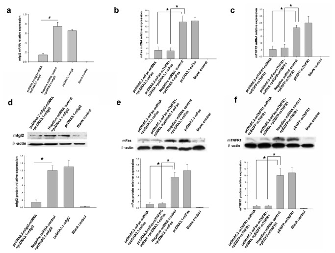 The constructed miRNA expression plasmids significantly inhibited target gene expression in CHO cells. ( a - c ) qRT-PCR showed that the miRNA eukaryotic expression plasmids targeting mfgl2, mFas, and mTNFR1, pcDNA6.2-mfgl2-miRNA ( a ), both pcDNA6.2-mFas-miRNA and pcDNA6.2-mFas-mTNFR1-miRNA ( b ), and both pcDNA6.2-mTNFR1-miRNA and pcDNA6.2-mFas-mTNFR1-miRNA ( c ), respectively, inhibited mfgl2, mFas, and mTNFR1 mRNA expression. Negative miRNA control: irrelevant miRNA plasmid, Blank control: CHO cells not treated. * P