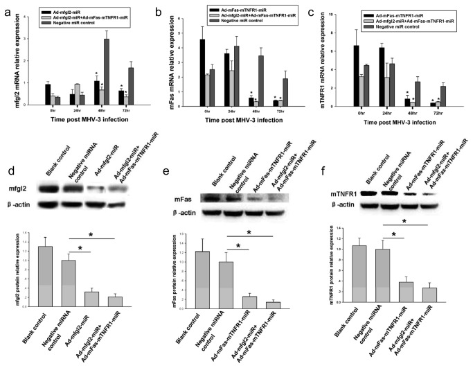 Ad-mfgl2-miRNA and/or Ad-mFas-mTNFR1-miRNA inhibited target genes at both mRNA and protein levels in vivo . The treatment process was the same as that described in Figure 2 , and livers were collected from treated BALB/cJ mice 0, 24, 48, and 72 h after MHV-3 infection. ( a ) qRT-PCR showed both Ad-mfgl2-miRNA and combined interference with Ad-mfgl2-miRNA and Ad-mFas-mTNFR1-miRNA inhibited mfgl2 mRNA expression 48 h and 72 h after MHV-3 infection. Both Ad-mFas-mTNFR1-miRNA and combined interference with Ad-mfgl2-miRNA and Ad-mFas-mTNFR1-miRNA inhibited mFas ( b ) and mTNFR1 ( c ) mRNA expression 48 h and 72 h after MHV-3 infection also. Values represent means and SE of three separate experiments done in triplicate.* P