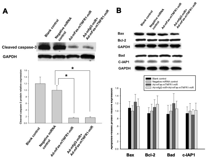 The constructed miR adenovirus did not affect the expression of certain apoptosis-related proteins, but significantly decreased cleavage of caspase-3. ( A ) There was significantly decreased cleavage of caspase-3 in Ad-mFas-mTNFR1-miRNA treated mice and combined interference group at 72 h after MHV-3 infection. ( B ) Both Ad-mFas-mTNFR1-miR and combined interference with the two adenoviral miRNAs did not affect the expression of pro-apoptotic proteins, including Bax and Bad, and anti-apoptotic proteins, including Bcl-2 and c-IAP2 at 72 h after MHV-3 infection. The average protein expression from Negative miRNA control group was designated as 1. * P