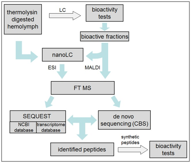 Workflow for the identification of bioactive peptides. On the one hand the thermolysin-digested hemolymph sample was analyzed directly by nanoHPLC-FTMS. On the other hand the thermolysin-digested sample was pre-fractionated using a HPLC-system and the collected samples were tested for bioactivity for a more detailed analysis of immuno-relevant peptides.