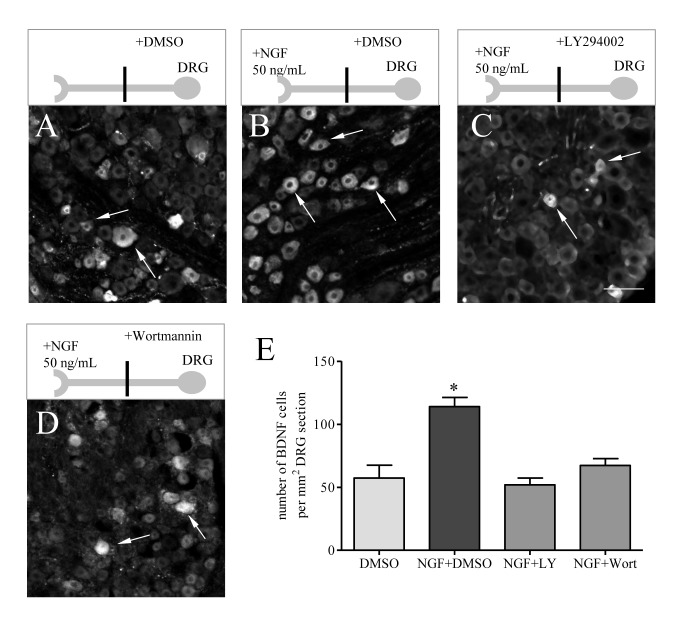Retrograde NGF increased BDNF expression in sensory neurons, which was mediated by the PI3K/Akt pathway. In two-compartmented DRG-nerve culture, NGF (50 ng/mL) was added to the chamber containing the sensory axonal terminals. The ganglia were pre-treated with specific PI3K inhibitors LY294002 and Wortmannin, or vehicle. At 12 h after treatment, NGF increased the number of DRG neurons expressing BDNF (compare B to A) which was reversed by LY294002 treatment (compare C to B), and also by Wortmannin treatment (compare D to B). Histogram (E) showed summary results from 4 independent experiments. Bar= 40 µm. *, p