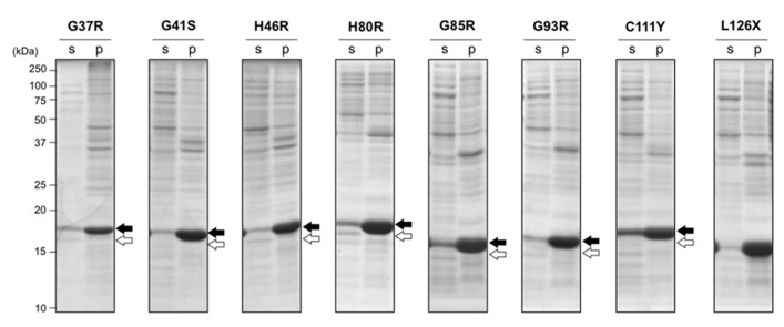 Aggregation of disulfide-reduced SOD1 with fALS mutations in E. coli BL21 was not rescued by addition of ZnSO 4 . E. coli BL21(DE3) was transformed with pET15b harboring human SOD1 cDNA with indicated fALS mutations, and the protein expression was induced by IPTG in the presence of 1 mM ZnSO 4 . Cell lysates were fractionated into soluble supernatant (s) and insoluble pellets (p), treated with iodoacetamide, and then analyzed with non-reducing SDS-PAGE by using a 15% polyacrylamide gel. White (SOD1 S-S ) and black (SOD1 SH ) arrows at the right side of the gel image indicate positions of bands corresponding to SOD1 with and without a disulfide bond, respectively.
