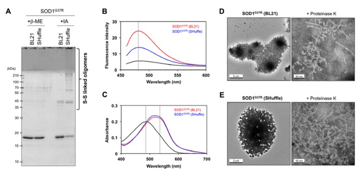 Amyloid-like characters of SOD1 aggregates purified from insoluble inclusions in E. coli . (A) SOD1(G37R) aggregates purified from insoluble inclusions in E. coli were reacted with iodoacetamide for protection of free thiol groups and analyzed with reducing (+β-ME) and non-reducing (+IA) SDS-PAGE. Disulfide-crosslinked oligomers were identified in SOD1(G37R) aggregates purified from insoluble inclusions in E. coli SHuffle TM but not in BL21(DE3). (B, C) Tinctorial properties of SOD1(G37R) aggregates purified from E. coli BL21 and SHuffle TM (red and blue curves, respectively) were examined by (B) fluorescence of thioflavin T and (C) absorption of Congo red. Black curves represent (B) fluorescence spectrum of thioflavin T and (C) absorption spectrum of Congo red without addition of SOD1 aggregates. (D, E) Electron micrograms of SOD1(G37R) aggregates purified from E. coli (D) BL21 and (E) SHuffle TM . SOD1(G37R) aggregates exhibit large, amorphous morphologies (left panels), while fibrillar structures become evident after brief treatment of aggregates with Proteinase K (right panels). A bar represents 2 μm (left panels) or 50 nm (right panels).