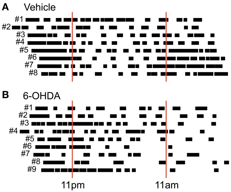 Circadian post-lesion activity . Free locomotor activity of all vehicle (A) and all 6-OHDA (B) injected rats after lesioning. Animal numbers are given left to the respective vertical bars representing global activity phases. Red solid lines mark light switches at 11 pm (lights on) and 11 am (lights off) that would take place under usual housing conditions. Note that behavioral monitoring was performed under constant dark conditions.