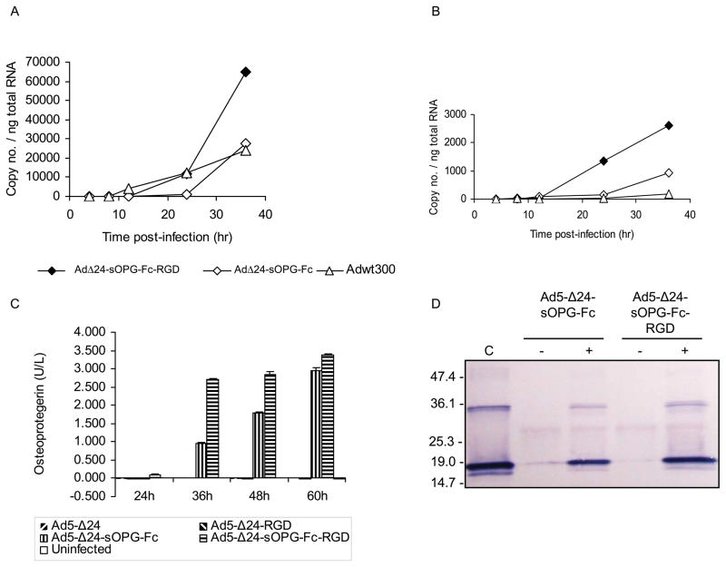 Characterization of armed CRAds. A, B, MDA-MB-231 cells were infected with Ad5-Δ24-sOPG-Fc, Ad5-Δ24-sOPG-Fc-RGD or Adwt300. At the indicated times, cellular RNA was subjected to QRT-PCR to detect expression of: A, the sOPG-Fc gene (cells infected with Ad5-Δ24-sOPG-Fc or Ad5-Δ24-sOPG-Fc-RGD) or the 14.7k gene (cells infected with Adwt300); and B, the ADP gene. The copy number was normalized to total cellular RNA. C, Secretion of sOPG-Fc. MDA-MB-231 cells were infected with Ad5-Δ24, Ad5-Δ24RGD, Ad5-Δ24-sOPG-Fc or Ad5-Δ24-sOPG-Fc-RGD. At the indicated times, medium was harvested, diluted 1:300 and expression of sOPG-Fc was detected in an ELISA. D , sOPG-Fc binds RANKL. Medium from MDA-MB-231 cells 48 h postinfection was incubated in the presence (+) or absence (−) of sRANKL and pulled down with protein G-agarose. Proteins were released and subjected to immunoblot using anti-RANKL primary antibody. C: sRANKL.