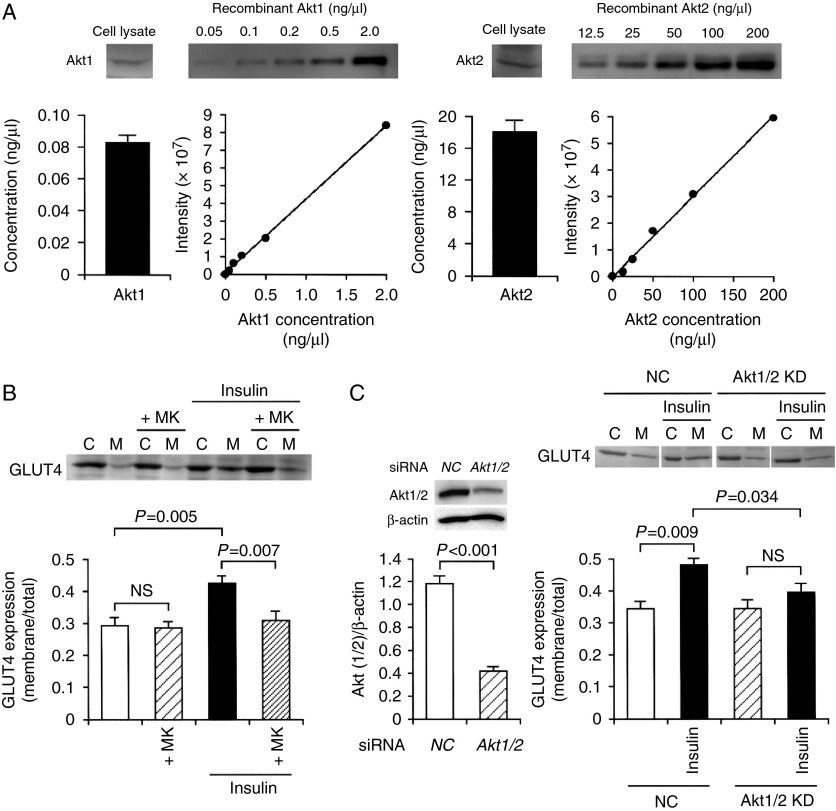 Insulin stimulates GLUT4 translocation toward the plasma membrane in an Akt1/2-dependent manner. (A) The Akt1 or Akt2 concentration/intensity standard curves were made using a human recombinant Akt1 or Akt2 respectively. 3T3-L1-GLUT4myc fibroblasts on day 14 after differentiation induction were lysed followed by western blotting using antibodies against Akt1 and Akt2, and the amount of Akt1 and Akt2 was calculated from each standard curve ( n =4 independent experiments). (B) 3T3-L1-GLUT4myc adipocytes were treated with insulin (100 nM) in the presence and absence of MK2206 (+MK) (5 μM). Then, cells were lysed and separated into the cytosolic (C) and plasma membrane fractions (M), followed by western blotting using an antibody against c-myc. In the graph, each column represents the mean (± s.e.m .) ratio of signal intensity for c-myc in the plasma membrane fraction to that in the total cell ( n =4 independent experiments). P values, ANOVA followed by a Bonferonni correction. NS, not significant. (C) In the left panel, 3T3-L1-GLUT4myc adipocytes were transfected with the NC siRNA or the Akt1/2 siRNA, and 48 h after transfection western blotting was carried out using antibodies against Akt1/2 or β-actin. Signal intensities for Akt1/2 were normalized to those for β-actin. In the graph, each column represents the mean (± s.e.m .) normalized expression of Akt1/2 ( n =4 independent experiments). P value, unpaired t -test. In the right panel, cells transfected with the NC siRNA (NC) or the Akt1/2 siRNA (Akt1/2 KD) were left untreated or treated with insulin (100 nM) for 20 min. Then, cells were lysed and separated into the cytosolic (C) and plasma membrane fractions (M), followed by western blotting using an antibody against c-myc. In the graph, each column represents the mean (± s.e.m .) ratio of signal intensity for c-myc in the plasma membrane fraction to that in the total cell ( n =4 independent experiments). P values, ANOVA followed by a Bonferonni correction. NS, not 