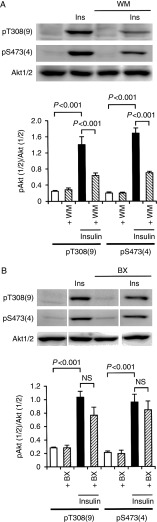 Insulin stimulates phosphorylation of <t>Akt1/2</t> in a PI3K-dependent manner in 3T3-L1-GLUT4myc adipocytes. Cells were left untreated or treated with insulin (Ins) (100 nM) for 10 min in the presence and absence of wortmannin (+WM) (20 nM) (A) or BX912 (+BX) (100 nM) (B). Western blotting was carried out using antibodies against pT308(9), pS473(4), and Akt1/2. Signal intensities for phosphorylated Akt1/2 (pAkt1/2) were normalized to those for Akt1/2. In the graphs, each column represents the mean (± s.e.m .) normalized intensity for pAkt1/2 at each site ( n =4 independent experiments). P values, ANOVA followed by a Bonferonni correction. NS, not significant.