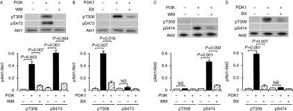 PI3K-dependent and PDK1-independent Akt1 phosphorylation and PI3K-/PDK1-dependent Akt2 phosphorylation under cell-free conditions. Akt1 or Akt2 was reacted with (+) and without (−) PI3K (1 μg/ml) (A and C) or PDK1 (1 μg/ml) (B and D) in the presence and absence of wortmannin (WM) (20 nM) or BX912 (BX) (100 nM), and western blotting was carried out using antibodies against pT308(9), pS473(4), and Akt1/2. Signal intensities for phosphorylated Akt1 (pAkt1) or Akt2 (pAkt2) were normalized to those for Akt1 or Akt2. In the graphs, each value represents the mean (± s.e.m .) intensity for pAkt1 or pAkt2 at each site ( n =4). P values, Dunnett's test. NS, not significant.