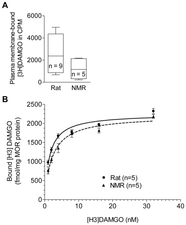 <t>Radioligand</t> binding of rat and NMR MOR. A ) <t>[H3]DAMGO</t> binding to plasma membrane extracts of rat and NMR MOR expressed in HEK293 cells (pCMV- oprm1 -IRES-eGFP vector DNAs). Data are shown as whisker blots (min to max). B ) Normalized [H3]DAMGO saturation binding curve of rat and NMR MOR expressed in HEK293 cells (pCMV- oprm1 -IRES-eGFP vector DNAs) using whole membrane preparations. Data represent means ± SEM. Statistical analysis was performed using the two-tailed Mann Whitney U test.
