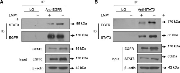 LMP1 affected the interaction of EGFR and STAT3. Two mg of protein from cell lysates were immunoprecipitated with an anti-EGFR antibody (A) or anti-STAT3 antibody (B) and analyzed by Western blotting with a STAT3 and EGFR antibodies. Negative controls included immunoprecipitation with an unrelated antibody (IgG). ®-actin were used as an internal control of Inuput. The bottom panels show the 50 μg of input materials. IP: immunoprecipitation, IB: immunoblot, kDa: kilodalton.