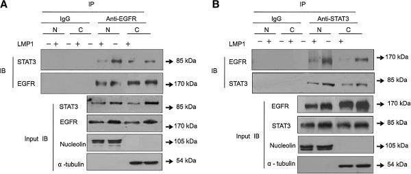 LMP1 induced co-localization of EGFR and STAT3 in the nucleus. Endogenous association of EGFR (A) with STAT3 (B) in NPC cells without or with LMP1 expression. Equal amounts of fractionated cellular proteins were immunoprecipitated with an anti-EGFR or anti-STAT3 antibody and loaded for Western blotting. Input samples from equal amounts of proteins blotted for EGFR, STAT3, nucleolin, and α-tubulin are shown as loading and fractionation controls. N: nuclear fraction, C: cytosolic fraction, IB: immunoblot.