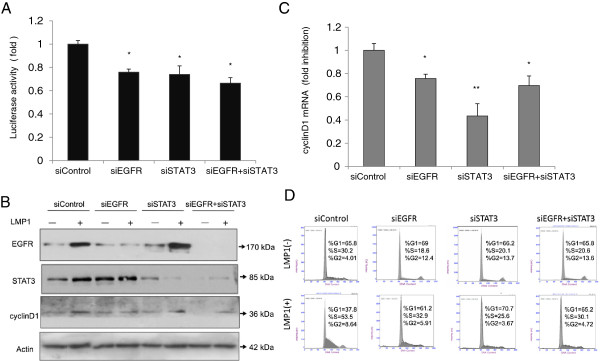 Cyclin D1 expression is reduced in CNE1-LMP1 cells after treatment with EGFR siRNA and STAT3 siRNA. (A) Dual luciferase-reporter assays were performed in CNE1-LMP1 cells after co-transfection with either control siRNA (siControl), EGFR siRNA (siEGFR), or STAT3 siRNA (siSTAT3) in addition to cyclin D1 promoter-reporter constructs and a Renilla luciferase transfection control plasmid. Firefly luciferase was measured and normalized to Renilla luciferase activity. The fold change in cyclin D1 expression by the indicated siRNA is displayed in each case. The control siRNA served as a non-targeting control. (mean ± SD, n =3, * p