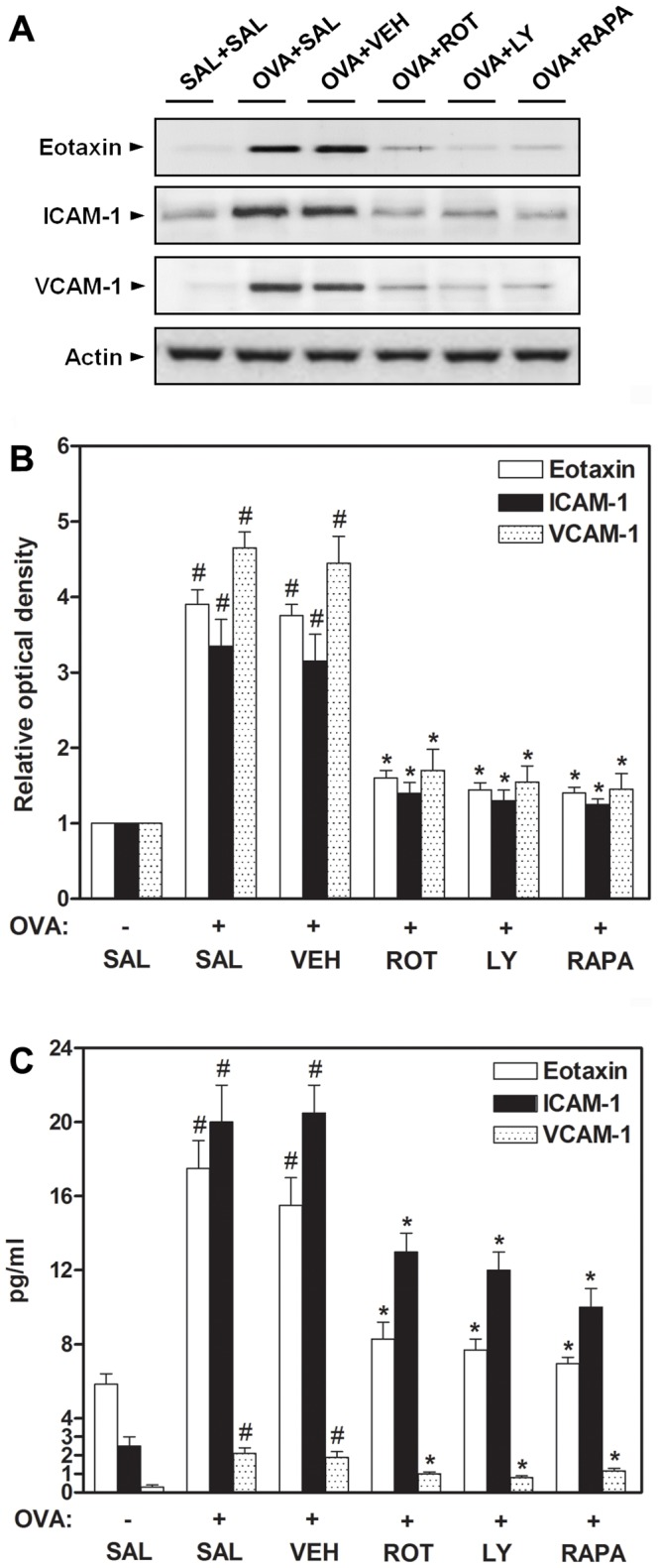 Effect of rottlerin, LY294002, or rapamycin on eotaxin, ICAM-1, and VCAM-1 levels in OVA-inhaled mice. (A) Western blotting of eotaxin, ICAM-1, and VCAM-1 in lung tissues. (B) Densitometric analyses are presented as the relative ratio of each molecule to actin. The relative ratio of each molecule in the lung tissues of SAL+SAL mice is arbitrarily presented as 1. (C) The levels of eotaxin, ICAM-1, and VCAM-1 were quantified by ELISA. The protein expression of these adhesion molecules was measured at 48 h after the last challenge in mice. Results from four independent experiments with 5 mice/group are given as mean ± SEM. # p