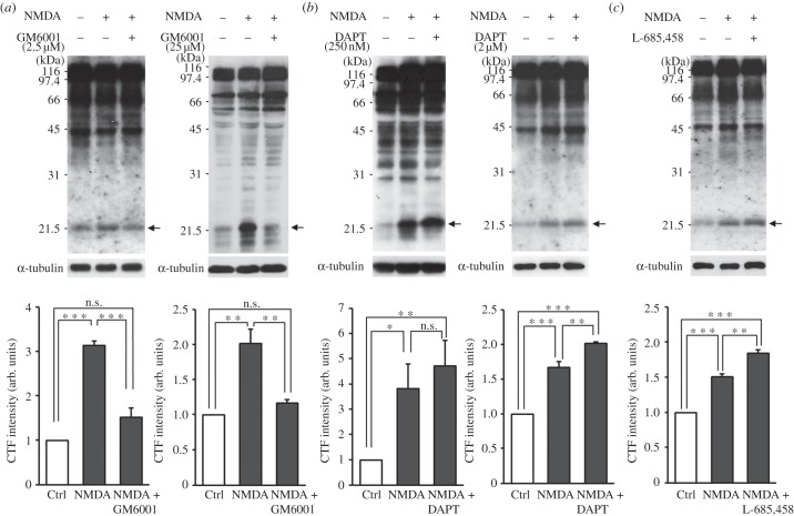 NGL-3 cleavage is blocked by inhibition of MMPs and presenilin/γ-secretase. ( a ) MMP inhibition blocks NMDA-induced NGL-3 cleavage. Rat hippocampal neurons at DIV 18–21 were incubated with GM6001 (2.5 and 25 µM, 30 min) before and during NMDA stimulation (20 µM, 3 min), followed by immunoblotting. The bar graphs represent mean ± s.e.m; n = 4; ** p