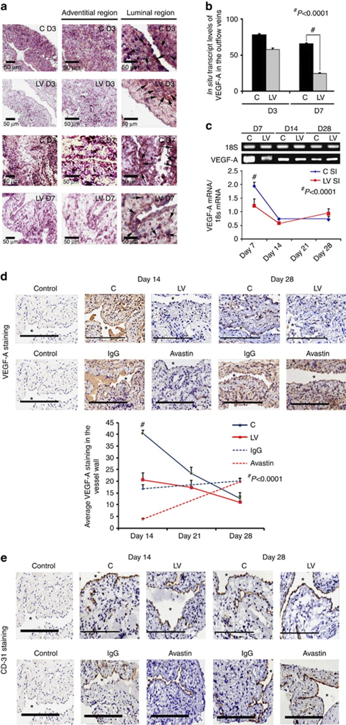 Vascular endothelial growth factor-A ( VEGF-A ) expression is reduced in lentivirus (LV)–small hairpin RNA (shRNA)- VEGF-A -transduced and Avastin-treated vessels with decreased CD31 staining. ( a , first to third columns) In situ hybridization of mRNA for VEGF-A in the LV-transduced vessels when compared with scrambled-shRNA- VEGF-A (control (C)) vessels, with arrows on cells positive for VEGF-A mRNA expression (brown). By day 3 (D3), there was a reduction of mRNA for VEGF-A being localized to the media and adventitia and by day 7 (D7), it was localized to the media and intima. In contrast, the vessels transduced with C shRNA showed increased mRNA expression of VEGF-A in the adventitia and media by day 3, and in the media and intima by day 7. ( b ) Pooled data for the in situ transcript levels of VEGF-A in the outflow vein of the LV-transduced vessels that was significantly reduced when compared with C vessels at day 7 ( P