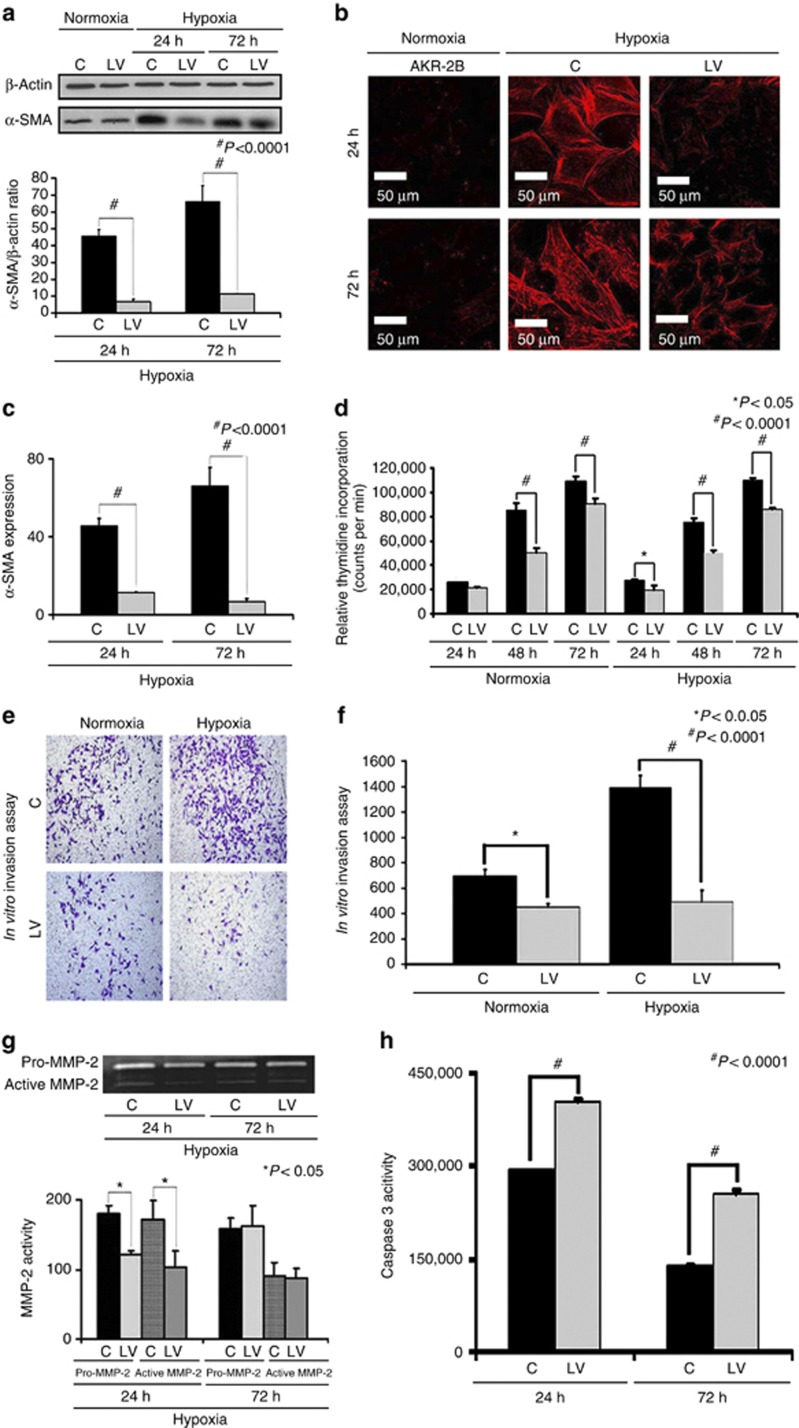 There is decreased proliferation, invasion, α-smooth muscle actin (α-SMA), and matrix metalloproteinase 2 ( MMP-2 ) expression with increased caspase 3 activities in the lentivirus (LV)–small hairpin RNA (shRNA)–vascular endothelial growth factor-A ( VEGF-A )–transduced cells subjected to hypoxia. Western blot for α-SMA after transduction LV-shRNA- VEGF-A (LV) and scrambled shRNA- VEGF-A (C) in AKR-2B fibroblasts subjected to hypoxia at 24 and 72 h. A typical western blot is shown in the upper panel and the pooled data in the lower panel ( a ). This demonstrates a significant reduction in the mean α-SMA expression in the LV-transduced cells when compared with C cells at 24 ( P