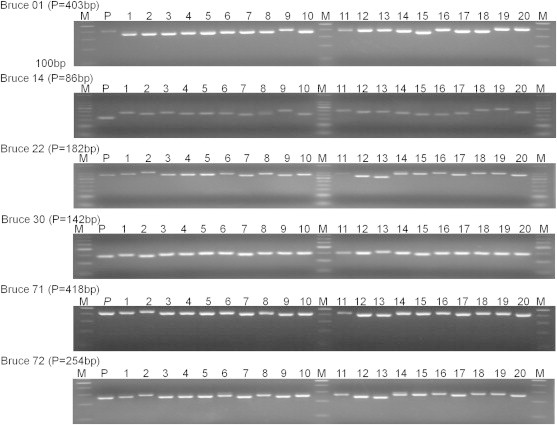 Amplification patterns of MLVA on Brucella abortus biovar 1. Lane M, 100-bp ladder; Lane P, B. abortus 2308; Lanes 1–20, B. abortus biovar 1 isolates. The indicated <t>PCR</t> products size of the reference strain was confirmed by <t>DNA</t> sequencing. The six VNTR loci (Bruce 01, Bruce 14, Bruce 22, Bruce 30, Bruce 71, and Bruce 72) show differentiation in B. abortus human isolates. MLVA = multilocus variable-number tandem-repeat (VNTR) analysis; PCR = polymerase chain reaction.