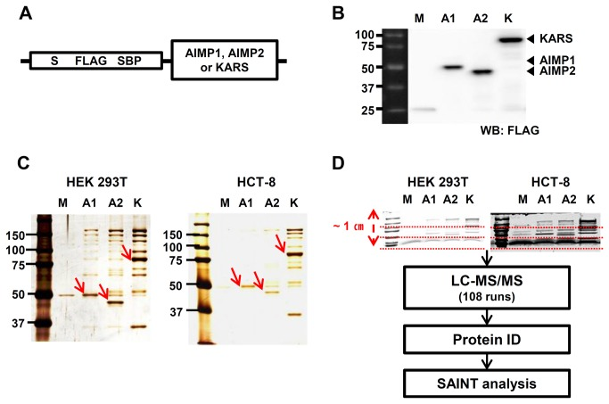 Affinity purification of SBP-tagged AIMP1, AIMP2 and KARS. ( A ) Schematic diagram of AIMP1, AIMP2, and KARS constructs for affinity purification. S/FLAG/SBP tags were attached to the N-terminus of cloned genes. ( B ) Expression of AIMP1, AIMP2, and KARS tagged with S/FLAG/SBP in HEK 293T cells were confirmed by immunoblotting analysis using anti-FLAG antibody. Closed arrowheads (◀) indicate AIMP1, AIMP2 and KARS. ( C ) Streptavidin affinity purification was carried out and 10 % of the eluted samples from HEK 293T and HCT-8 cells were visualized by protein staining. One of three biological replicates is shown and the bait proteins are marked with red arrows. ( D ) 90 % of elution was separated on SDS-PAGE to about 1-cm distance and divided into three fractions each. Then, tryptic peptides were recovered from each gel bands and analyzed by LC-MS/MS. SAINT algorithm was used to calculate the likelihood of true interaction of identified proteins. M; Mock, A1; AIMP1, A2; AIMP2, K; KARS. 'Mock' is a vector having the S/FLAG/SBP tag only without target genes.