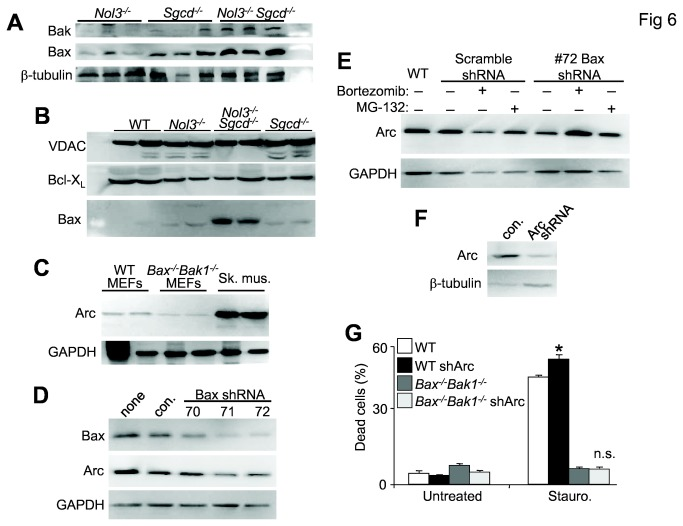 Arc deficiency increases Bax expression and cell death. A, Western blot for Bak and Bax from quadriceps lysates of Nol3 -/- , Sgcd -/- , and Nol3 -/- Sgcd -/- mice. (β-tubulin serves as a loading control). B, Western blot for Bax and Bcl-X L from mitochondrial protein fractions isolated from pooled hindlimb muscles of WT, Nol3 -/- , Sgcd -/- , and Nol3 -/- Sgcd -/- mice. (voltage-dependent anion channel (VDAC) serves as a mitochondrial protein loading control). C, Western blotting for Arc from lysates derived from WT and Bak -/- Bak1 -/- SV40 transformed MEFs. Skeletal muscle lysates were included to show the enrichment of Arc in terminally differentiated cell types, while GAPDH serves as a protein loading control. D, Western blot for Bax and Arc in SV40 transformed MEFs infected with lentivirus expressing scrambled shRNA (con) or 3 different Bax-directed shRNAs. (GAPDH serves as a loading control). E, Western blot for Arc in SV40 transformed MEFs infected with lentivirus expressing either a scrambled shRNA or one of the Bax shRNAs and treated with proteosomal inhibitors Bortezomib or MG-132. WT MEFs are a control for normal endogenous Arc expression and GAPDH serves as a loading control. F, Western blot for Arc in SV40 transformed MEFs infected with a lentivirus expressing either a scrambled shRNA (con.) or shRNA directed against Arc. Western blots presented are quantified and statistically analyzed in Figure S3A-G . G, Quantification of dead cells by flow cytometry sorting for Annexin and PI positivity in the experimental groups shown, treated or untreated with staurosporin for 12 hours. *P