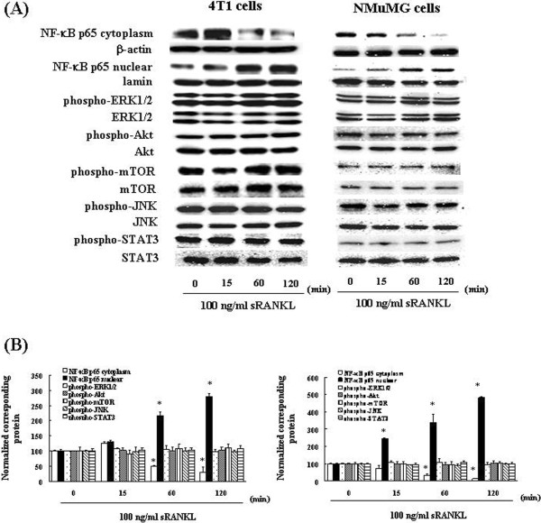 RANKL induces the activation of NF-κB. (A) 4T1 and NMuMG cells were incubated with 100 ng/mL RANKL. At various time points, the cytoplasmic fractions and nuclear fractions were extracted and then subjected to SDS-PAGE/immunoblotting with anti-NF-κB p65, anti-phospho-ERK1/2, anti-phospho-Akt, anti-phospho-mTOR, anti-phospho-JNK, <t>anti-phospho-STAT3,</t> anti-ERK1/2, anti-Akt, anti-mTOR, anti-JNK, and anti-STAT3 antibodies. Anti-β-actin and anti-lamin antibodies were used as internal standards. (B) Quantification of the amount of NF-κB p65, phospho-ERK1/2, phospho-Akt, phospho-mTOR or phospho-STAT3, normalized to the amounts of the corresponding proteins, respectively. The results are representative of 5 independent experiments. *p