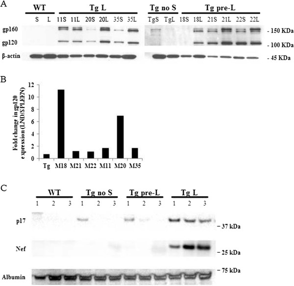 "HIV proteins expression in HIV Tg mice. (A) gp120 expression in HIV Tg mice. Protein lysates from mice spleen and lymph node were separated by SDS-PAGE and analyzed by western blot using anti-gp120 antibody as described under ""Experimental Procedures"". The mice analyzed are indicated on the top of the figure: WT is the mouse control FVB/N, Tg is an HIV Tg mice without skin lesions, mice number 18, 21, and 22 represent mice at the pre-lymphadenopathy stage while mice number 11, 20 and 35 represent mice at a late stage of lymphadenopathy. The numbers in the right represent the protein molecular weight in KDa. (B) Histogram showing the fold changes in gp120 expression in the lymph node versus the spleen from the same mouse. The relative intensity of gp120 was quantified by densitometry and normalized with the beta actin. (C) Western blot for p17 and nef proteins expression in HIV Tg mice using anti-p17 antibody and HIV-1 Nef antiserum as described under ""Experimental Procedures"". The mice analyzed are indicated on the top of the figure: WT are mice wild type control FVB/N, Tg are HIV Tg mice without skin lesions, Tg pre-L are mice at pre-lymphadenopathy stage and Tg-L are mice at the last stage of lymphadenopathy. The protein molecular weights are represented in the right of the figure."