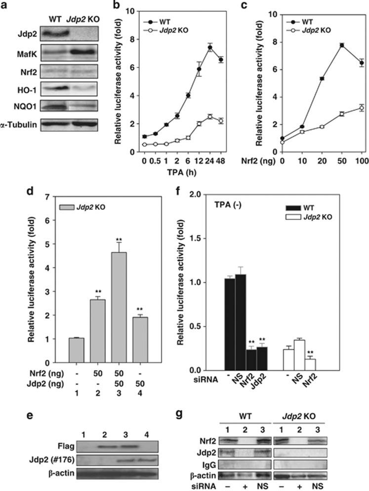 JDP2 is required for ARE activation. ( a ) Protein detection in WT and Jdp2 KO MEFs using western blotting. The cellular lysates from WT and Jdp2 KO MEFs (40 μ g) were separated on SDS-PAGE and then transferred onto a membrane. Jdp2, MafK, Nrf2, HO-1, NQO1 and α -tubulin were immunodetected using specific antibodies. ( b ) Relative NQO1 promoter activity in WT and Jdp2 KO MEFs in the presence of TPA at the indicated exposure times. After 24 h of culture, TPA (10 –6 M) was added, transfectants with pGL4–hQR25–luciferase were incubated for an additional 48 h and luciferase activity was measured ( n =3) as described in Materials and Methods. ( c ) Effect of Nrf2 on NQO1 promoter activity. pGL4–hQR25–luciferase (400 ng) plus 0–100 ng of pcDNA3–Nrf2 were transfected into WT and Jdp2 KO MEFs (5 × 10 4 ). One day after transfection, cells were collected and luciferase activity was measured. Values from a representative experiment are given as mean±S.D. ( n =3). ( d ) Effect of JDP2 on ARE activity in the presence of Nrf2. Jdp2 KO MEFs (5 × 10 4 ) was transfected with 400 ng of pGL4–hQR25–luciferase, 50 ng of FLAG_S–Nrf2 and pcDNA–Jdp2, respectively, as indicated. One day after transfection, cells were collected and luciferase activity was measured ( n =3). ** P