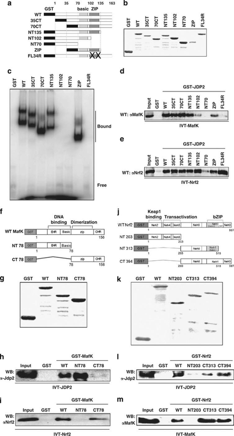 Reciprocal interaction of JDP2, Nrf2 and MafK in vitro . ( a ) The structure of GST–JDP2 proteins used for EMSA assay in vitro . The structures of various mutant forms of JDP2 are shown below. ( b ) Expression of the GST–JDP2 proteins. The GST–JDP2 proteins were detected on 10% SDS-PAGE after purification with GST affinity resins. ( c ) EMSA assay of the JDP2 deletion mutants with human NQO1–ARE. EMSA assay was performed using a series of deletion mutants of the Jdp2 protein, as indicated in Materials and Methods. The upper bands of the DNA–protein complexes seem to be dimer forms. ( d ) The bZIP domain of JDP2 is recruited and binds MafK. The full-length rat MafK ( in vitro- translated MafK; IVT–MafK) was expressed using an in vitro transcription–translation system without [ 35 S]-methionine as recommended in the manufacturer's protocol. Affinity-resin-purified GST or GST–JDP2 fusion variant proteins were mixed with IVT–MafK. The bound MafK was applied to SDS-PAGE and immunodetected using a MafK-specific antibody. ( e ) The basic domain of JDP2 is recruited and binds Nrf2. The IVT–Nrf2 protein was incubated with GST–JDP2 and a protein-binding assay was performed as described in c . ( f ) The structure of mutant forms of various GST–MafK proteins used for EMSA assay in vitro . ( g ) Expression of the GST–MafK proteins. The GST–MafK was detected on 10% SDS-PAGE after purification with GST affinity resins. ( h ) The DNA-binding domain of MafK is recruited and binds JDP2. The full-length mouse JDP2 (IVT–JDP2) was expressed, using an in vitro transcription–translation system without [ 35 S]-methionine, as recommended in the manufacturer's protocol. Affinity-resin-purified GST or GST–MafK fusion variant proteins were mixed with IVT–JDP2. The bound JDP2 was applied to SDS-PAGE and immunodetected using a JDP2-specific antibody. ( i ) The ZIP domain of MafK is recruited and binds Nrf2. The structure and expression of GST–MafK and IVT–Nrf2 were described above. The bound Nrf
