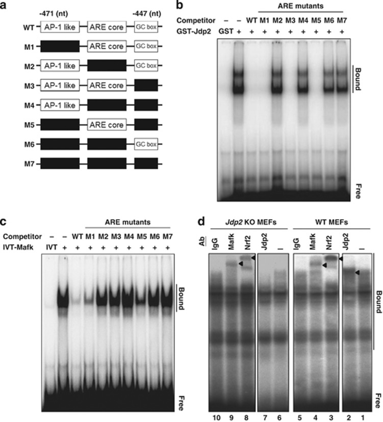 Cooperative binding of JDP2, MafK and Nrf2 to the ARE. ( a ) Tentative location of cis -elements in the ARE promoter region and its deletions mutants used for EMSA assay. AP-1-like (nt −471 to −466), ARE core (−462 to −456) and GC box (−455 to −453) elements are shown in white rectangular boxes. The deleted elements are shown in black rectangular boxes. The nucleotide sequences of the mutants (M1 to M7) were listed in the Supplementary Table I . ( b ) Competitive EMSA assay of JDP2 with ARE mutants. EMSA reactions were performed in the presence or absence of a competitive ARE as described in Materials and Methods, using [ γ - 32 P]-labeled double-stranded ARE oligonucleotides. GST–JDP2 and GST proteins were purified using GST affinity resins. ( c ) Competitive EMSA assay of MafK with ARE mutants. IVT–MafK proteins were incubated with an ARE probe in the presence or absence of competitive ARE mutants and EMSA assay was performed as described in Materials and Methods. IVT alone was used as a negative control. ( d ) Supershift EMSA assay with nuclear extracts (NEs) from WT MEFs and Jdp2 KO MEFs using the DNA probe of human NQO1–ARE. NEs from WT MEFs and Jdp2 KO MEFs were incubated without (lanes 1 and 6) and with antibodies specific for Jdp2 (lanes 2 and 7), Nrf2 (lanes 3 and 8), MafK (lanes 4 and 9) and IgG (lane 5 and 10). 'Bound' indicates the supershifted DNA–protein complexes and 'Free' indicates the ARE–DNA probe