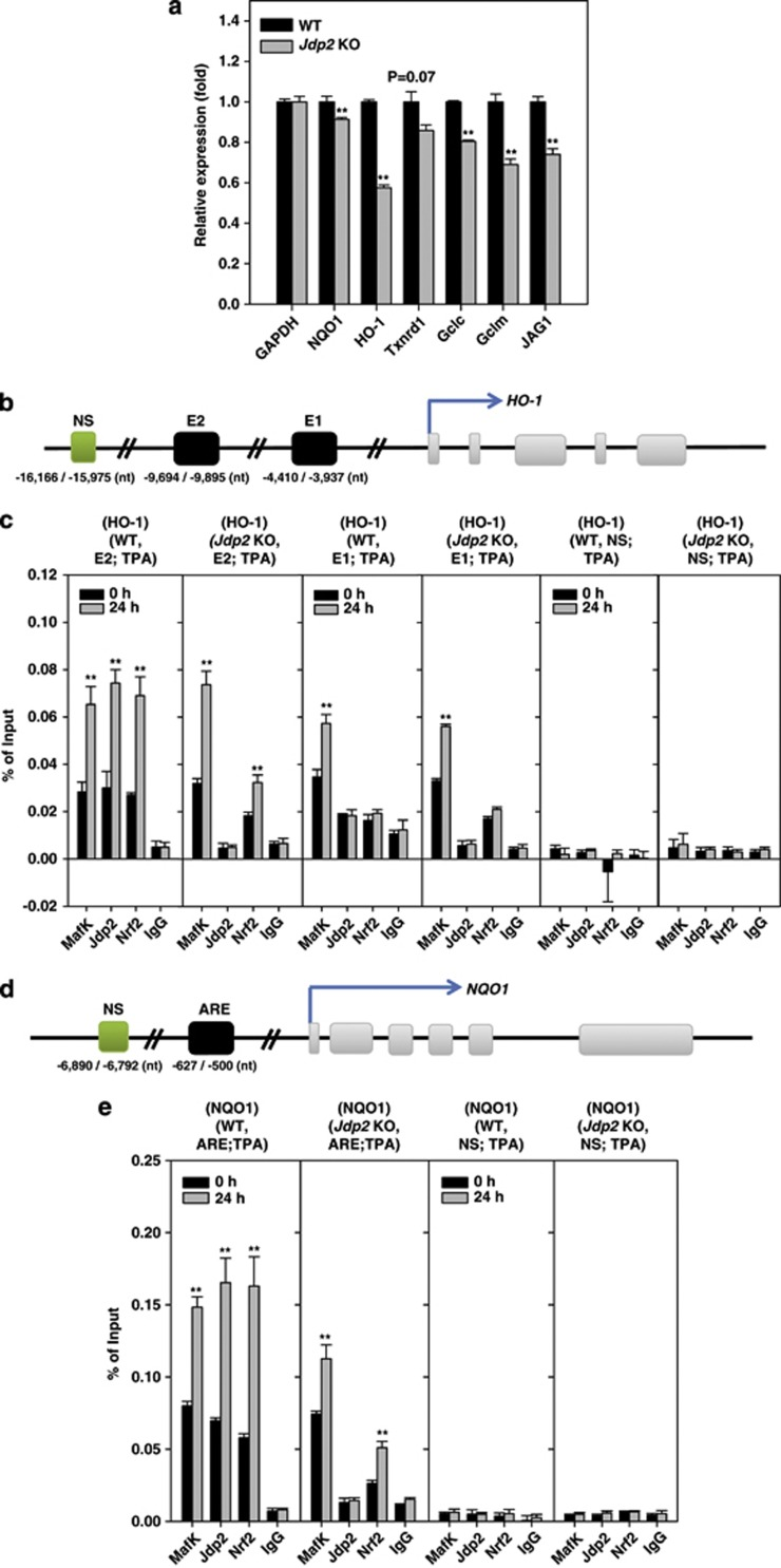 JDP2 regulates the expression of Nrf2 target genes. ( a ) qPCR analysis of Nrf2 target genes in WT and Jdp2 KO MEFs. The expression levels determined are relative to the level of GAPDH. Error bars denote the S.D. from duplicate reactions by real-time PCR as described in Materials and Methods. The primer sequences of each Nrf2 target gene are listed in Supplementary Table SIII . * P