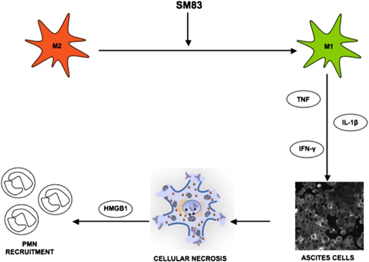 Proposed mechanism of action of SM83 in cancer ascites. SM83 stimulates the reversal of macrophages from M2 to M1 phenotype. TNF secreted by M1 macrophages triggers necrotic death of the cancer cells within the ascitic fluid; the dying cells release HMGB-1 that, together with TNF, recruits neutrophils