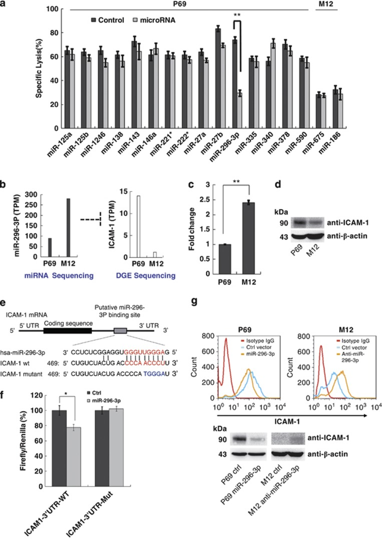 MiR-296-3p directly regulates ICAM-1 in PCa cells. ( a ) Screening of candidate miRNAs (in target cells) involved in the resistance to NK cells were performed using calcein release assay. Data are the mean±S.E.M. of three independent experiments. ( b ) The expression level of miR-296-3p and transcription level of ICAM-1 in P69 and M12 were analyzed by miRNA transcriptome sequencing and DGE sequencing, respectively. TPM means transcripts per million. ( c ) Real-time PCR in ΔΔCt method was performed to identify the expression levels of miR-296-3p in P69 and M12. One representative experiment out of three was shown. ( d ) The protein levels of ICAM-1 in P69 and M12 were determined by western blotting. One representative experiment out of three was shown. ( e ) The predicted miR-296-3p binding site (red) and their mutant (blue) in the 3′-UTR of ICAM-1 mRNA are indicated. Number shows position of nucleotides in the 3′-UTR of ICAM-1 mRNA. ( f ) HEK-293T cells were transfected with psiCHECK-2 containing WT or mutant ICAM-1 3′-UTR and miR-296-3p or mock control vector. The Renilla luciferase activity was normalized on the constitutive activity of firefly luciferase. Data are the mean±S.E.M. of three independent experiments. ( g ) The expression of membrane-bound or total ICAM-1 in P69 and M12 were analyzed by flow cytometry (upper panel) and western blotting (bottom panel), respectively. One representative experiment out of three was shown