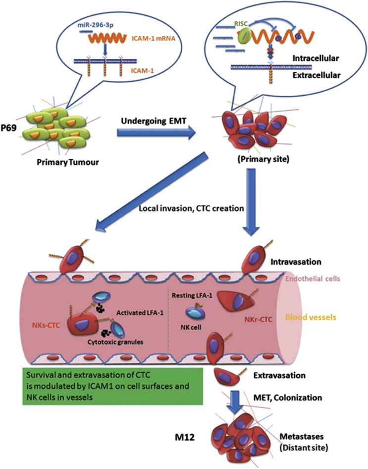 Schematic model of miR-296-3p-ICAM-1 axis promotes PCa metastasis by possible enhancing survival of NK cell-resistant CTC. During the early stage of EMT in the long-term malignant transition process from non-metastatic P69 to highly metastatic M12 in nude mice, 15 some of tumour cells acquired genetic changes leading to highly expressing miR-296-3p that directly targeted ICAM-1 gene. These heterogenous tumour cells might invade locally and afterward intravasate into blood vessels to form CTC. Compared with NKs-CTC or parental P69 cells, NKr-CTC with low expression of ICAM-1 on cell surfaces inhibited by miR-296-3p were hardly destroyed by NK cells in blood vessels. The survived NKr-CTC might successively complete the remaining events of the invasion-metastasis cascade including extravasation, micrometastasis, MET and metastatic colonization. CTC, circulating tumour cell; EMT, epithelial–mesenchymal transition; NKs-CTC, natural killer cell-sensitive circulating tumour cell; NKr-CTC, natural killer cell-resistant circulating tumour cells; MET, mesenchymal–epithelial transition