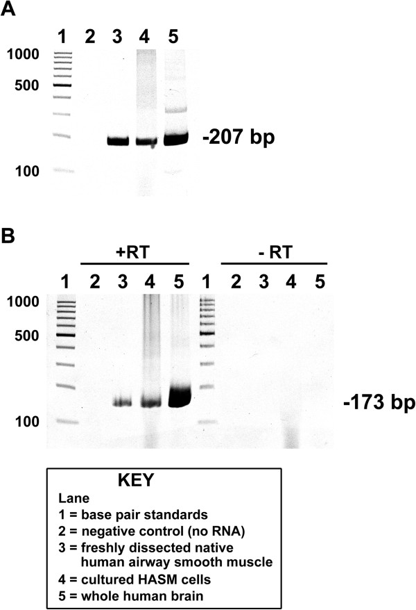 RT-PCR analysis of dopamine D 1 -like receptors in human airway smooth muscle. Representative gel images of RT-PCR analysis of total RNA using primers specific for human dopamine D 1 receptor (A) and D 5 receptor (B) . Total RNA extracted from freshly dissected human tracheal airway smooth muscle or primary cultures of human airway smooth muscle (HASM) cells was analyzed. Lanes 1: base pair standards; Lanes 2: negative control (no RNA); Lanes 3: total RNA from freshly dissected native human airway smooth muscle tissue; Lanes 4: total RNA from primary cultured HASM cells obtained from Lonza (Walkersville, MD); Lanes 5: total RNA from whole human brain. −RT; cDNA synthesis reactions performed in the absence of reverse transcriptase confirming that PCR products were not arising from contaminating genomic DNA.