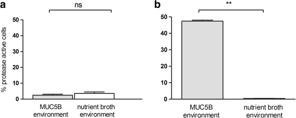 Proportion of proteolytically-active Lactobacillus fermentum cells in planktonic and biofilm culture. Graphs showing the percentage of proteolytically active cells in populations of (a) planktonic or (b) biofilm cells of L. fermentum in a MUC5B- or a nutrient broth-environment as revealed using a fluorescent substrate combined with CSLM. The bars represent the mean value of three independent experiments ± SE (** p