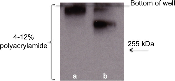 Degradation of the MUC5B polypeptide backbone by proteases from biofilms of L. fermentum. A control sample of MUC5B (a) and MUC5B which had been in contact with biofilm cells for 24 hours (b) were subjected to SDS-PAGE on 4–12% gels. After electro-blotting onto PVDF membranes, MUC5B was detected using the LUM5B-14 antiserum. The bottom of the well is indicated.
