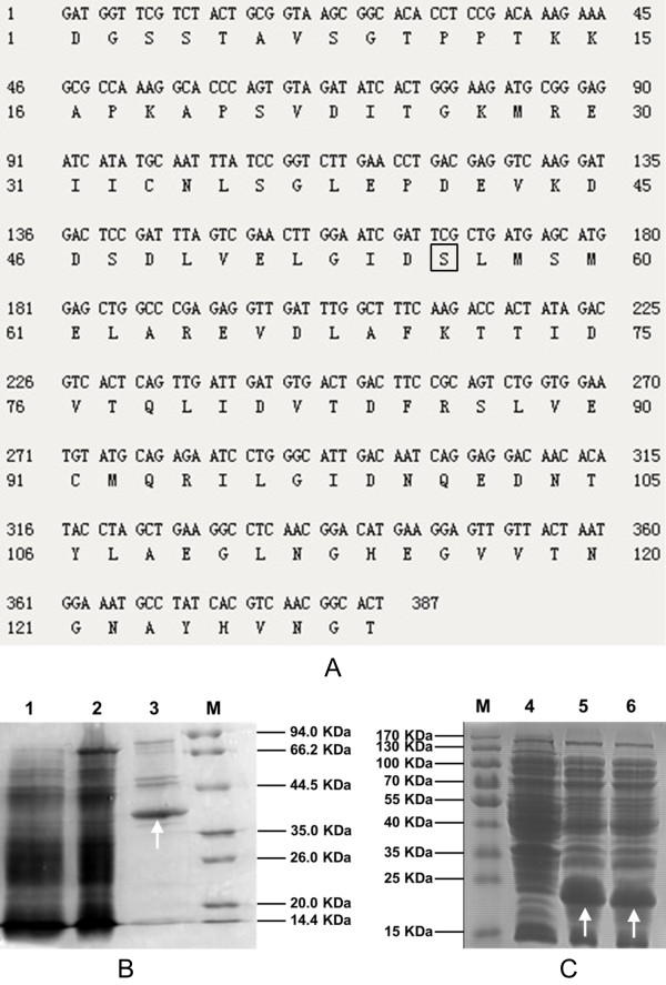 Nucleotide and amino acid sequences of ACP amd SDS-PAGE of PPTase and ACP and ACPm. (A) nucleotide and amino acid sequences ACP domain of citrinin polyketide synthase. The conserved serine at site 56 which marked by square frame was mutated by overlap PCR using primers mutant5/mutant3 to generate ACPm. (B) SDS-PAGE of PPTase expressed by GS115-NpgA-HIS 6 ; (C) SDS-PAGE of ACP and ACPm expressed by E. coli BL21. Lane 1: Lysate supernatant of GS115-NpgA-HIS 6 ; Lane 2: Flow-through fraction of GS115-NpgA-HIS 6 ; Lane 3: Eluted protein of GS115-NpgA-HIS 6 ; Lane 4: Lysate supernatant of wild type E. coli BL21 strain as negative control; Lane 5: Lysate supernatant of BL21-ACP; Lane 6: Lysate supernatant of BL21-ACPm. M: Protein marker. Protein purification were described in the Section Protein expression and purification in Methods. The arrows indicates the objective proteins.
