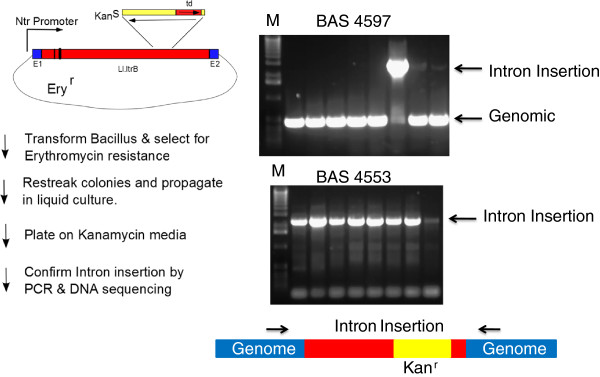 Bacillus vector for selection of group II intron insertions. A schematic of the important vector features and selection scheme for group II intron based gene disruption. The plasmid is erythromycin resistant but kanamycin sensitve because a td group I intron interrupts its coding sequence in an antisense orientation. Transcription of the group II intron from the Ntr promoter allows self- splicing of the td intron and generates a substrate that is capable of genomic integration at pre-determined loci due to changes in sequences shown as black bars within the intron. Genomic integrants no longer have the td group I intron interrupting the kanamycin resistance gene and thus successful integrants are kanamycin resistant. For PCR verification of intron insertion, primers (shown as arrows above the genomic DNA schematic) were designed to flank the site of intron insertion in BAS4597 and BAS4553. kanamycin resistant colonies arising in Bacillus anthracis Sterne after transformation of plasmids reengineered to integrate the group II intron at BAS4597 and BAS4553 were screened by colony PCR and analyzed after electrophoresis on a 1% agarose gel in TBE buffer and visualized by staining with <t>ethidium</t> bromide. Lanes marked M have 1 Kb molecular weight markers.