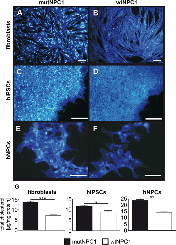 "Cholesterol accumulation in fibroblasts, hiPSCs, and neural progenitor cells. Cholesterol accumulation is one of the hallmarks of NPC1 disease. Filipin stainings of fibroblast ( A,B , shown in blue) are used for diagnostics, where fibroblasts of NPC1 patients with a ""classic"" biochemical phenotype demonstrate a clear perinuclear accumulation (A) in contrast to fibroblasts of an unaffected individual (B) . These differences were found in hiPSCs (C,D) and neural progenitor cells (hNPCs, E,F ) derived from mutNPC1 and wtNPC1 fibroblasts. (scale bar = 100 μm). A quantification of the amount of cholesterol (G) in fibroblasts, iPSCs, and hNPCs revealed elevated cholesterol levels in mutNPC1 cell lines (black bars) in contrast to wtNPC1 cell lines (white bars). The total amount differed slightly between the cell lines but the relative proportion was comparable."