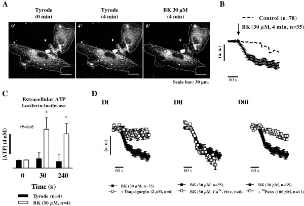 Bradykinin elicits ATP release from human fibroblasts by a mechanism depending on intracellular Ca 2+ mobilization. Panels A , B and D represent cells loaded with quinacrine (30 μM, a fluorescent dye that specifically binds ATP), for 60 min at 37°C. ATP release was detected by single-cell confocal microscopy in the time-lapse mode measuring the fluorescence intensity decay 4 min after bradykinin (BK, 30 μM, A and B ) application as compared to the control situation, in which only Tyrode's solution was applied (A) . Panel D , shows the effect of BK (30 μM) after pretreatment of the cells with the selective endoplasmic reticulum Ca 2+ -ATPase inhibitor, thapsigargin (2 μM, Di ), and after removal of extracellular Ca 2+ (Ca 2+ -free medium plus EGTA, 100 μM, Dii ); the effect of BK (30 μM) in the presence of the selective Panx1 inhibitor, 10 Panx (100 μM, Diii ), is also shown. Image scale bars: 30 μm. Graphs show quinacrine fluorescence decay (arbitrary units, a.u.) plotted versus time in the presence of Tyrode's solution (B) , thapsigargin (2 μM, Di ) and Ca 2+ -free medium ( Dii) . Black arrows indicate the time of drugs application. Each point represents pooled data from an n number of cells. The vertical bars represent S.E.M.. Panel C , shows the ATP content in human subcutaneous fibroblast cultures at given time intervals (0-240 seconds) in the presence of BK (30 μM, open bars) as compared to the control condition where only Tyrode's solution was applied (closed bars). Relative luminescence units (RLUs) were calibrated using a 4 nM ATP standard (left hand-side black vertical bar). Each bar represents pooled data from an n number of experiments. The vertical bars represent S.E.M.. * p